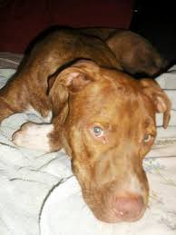american pitbull terrier 10 months 10 month old male stud red nose pitbull terrier brindle coat on