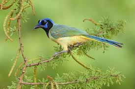 different types of jays u2014 colorful birds audubon