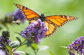 monarch butterflies fluttering back to orange county but