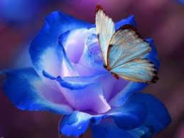 blue butterfly on blue pictures photos and images for