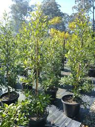 australian native screening plants elaeocarpus reticulatus 45lt bag or blueberry ash tree budget