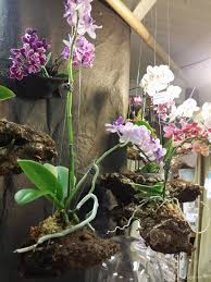 floating orchid hanging mountains