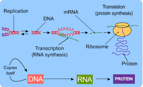 dna and protein synthesis s cool the revision website