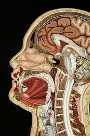 Neck Cross Sectional Anatomy Best 25 Cross Section Ideas On Pinterest Nature Pattern Nature