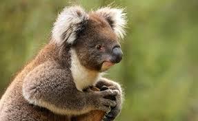 koala zoos victoria