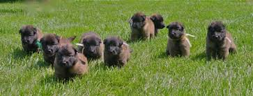 belgian sheepdog groenendael breeder available dogs u0026 puppies silvertrace belgian tervuren