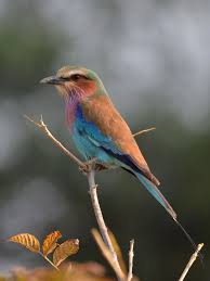 Lilca by Lilac Breasted Roller Wikipedia