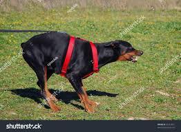 belgian sheepdog hound jumping young purebred belgian shepherd malinois stock photo