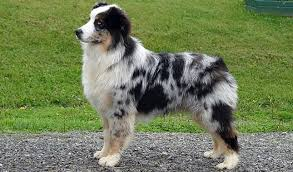 australian shepherd growth chart australian shepherd breed information