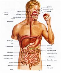 Anatomy Human Abdomen Inner Body Parts Pics Tag Human Body Inner Parts In Tamil Archives