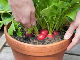 How To Grow A Vegetable Garden In Pots Complete Growing Beets In Containers How To Grow Carrots Radishes