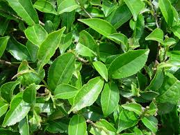 native russian plants camellia sinensis wikipedia