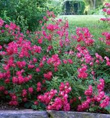 drift roses drift flowering shrubs