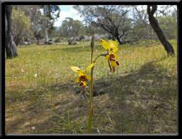diuris corymbosa common donkey orchid vocabulary of orchids wildflowers of western australia