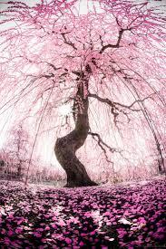 232 best cherry blossoms images on pinterest spring landscapes