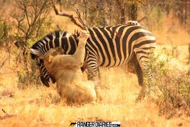 lions and zebra photographed by guide greg smith of and beyond