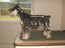 schnauzer hair cut step by step grooming your miniature schnauzer