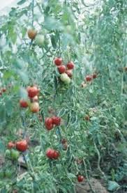 Diseases Of Tomato Plants - 26 best tomato diseases images on pinterest tomato diseases
