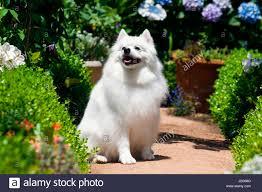 american eskimo dog vector american eskimo dog sitting on garden path mr u0026 pr stock photo