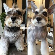schnauzers hair cuts repinned before after grooming before after dog