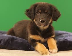 australian shepherd 10 weeks old puppy starting line up for puppy bowl ix oh no they didn u0027t