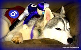 dog clothes for halloween husky puppy halloween costume dog freezes funny must see youtube