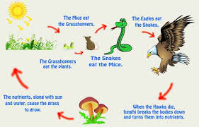 what travels through a food chain or web images Difference between food chain and food web explain with comparison jpg