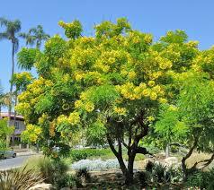 cassia leptophylla gold medallion tree buy at s