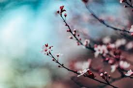 cherry blossom tree free photo on pixabay