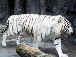 動物図鑑 ホワイトタイガー