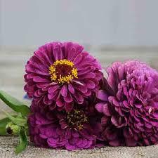 zinnia flowers zinnia purple prince flower seeds planet