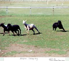 belgian sheepdog origin belgian shepherd groenendael dogs breeds pets