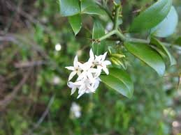 carissa bispinosa grows as a shrub or small tree up to 5 metres