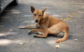 dog euthanasia why euthanasia is not the answer to bangkok s soi dog problem wos