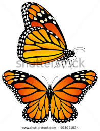 vector illustration monarch butterflies both side stock vector