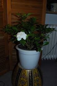 growing aromatic houseplants u2013 indoor plants that smell good