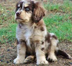 playing with australian shepherd miniature australian shepherd dogs for sale dogs and cats