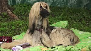 afghan hound breed afghan hound breed greyhounds shot in 4k ultra high definition