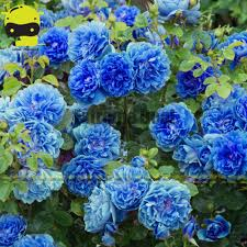 compare prices on climbing roses plants online shopping buy low