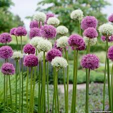 allium flowers about allium mix american