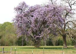wisteria blooms are early signs of spring mississippi state
