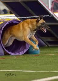 belgian sheepdog agility belgian shepherd malinois agility dogs pinterest belgian