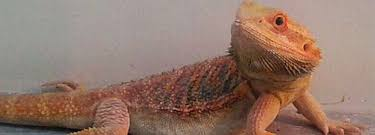 big bearded dragons