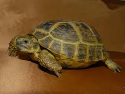 Ringed Map Turtle Russian Tortoises For Sale From The Turtle Source