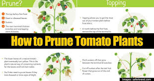 how to prune tomatoes for maximum yield tomato plants deep