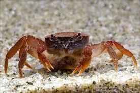 johnson u0027s freshwater crab u2013 love macritchie
