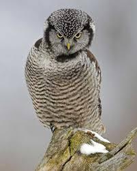 northern hawk owl audubon field guide