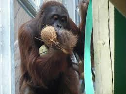 tiga the orangutan in orangutan forest exhibit at colchester zoo