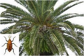 palm fronds for palm sunday gozo news
