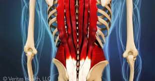 Anatomy Of Human Back Muscles Lower Right Back Pain Tissues U0026 Spinal Structures